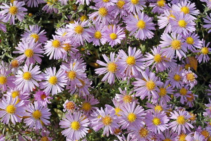Flowers asters