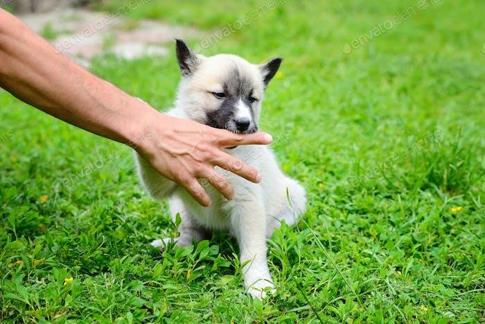 A beautiful Siberian Laika puppy playfully gnaws his hand