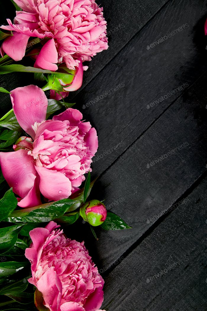Beautiful pink peony flowers on black background.