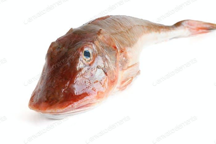 tub gurnard - gallinella di mare