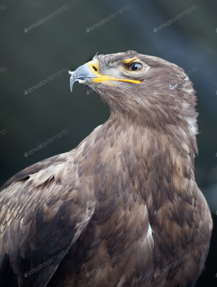 Steppe eagle - close-up portrait of this majestic bird of prey