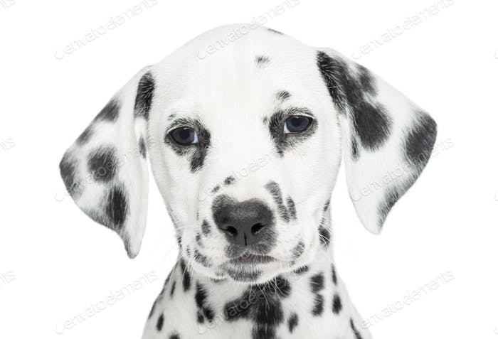 Close-up of a Dalmatian puppy, looking at the camera, isolated on white