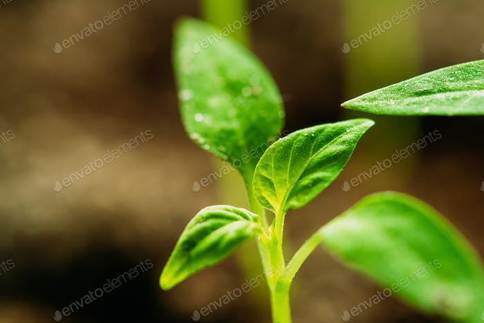 Small Organic Pepper Plants Growing On Garden Bed Plantation In