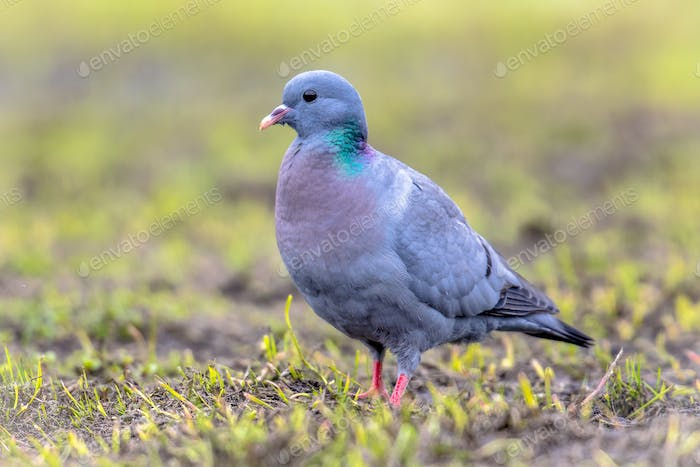 Stock dove foraging in green grass