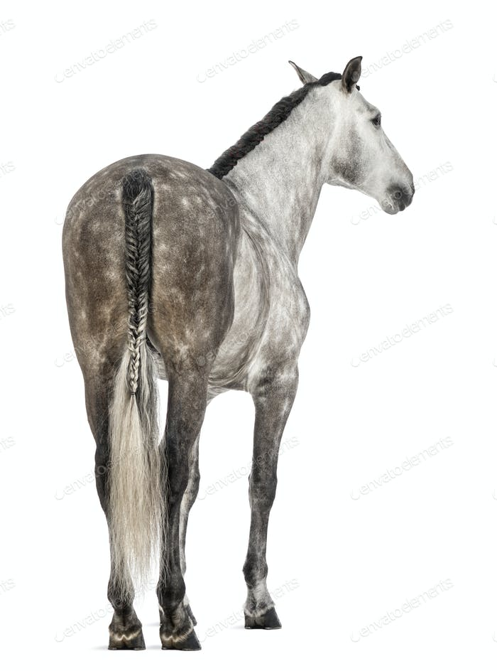 Rear view of an Andalusian, 7 years old, also known as the Pure Spanish Horse