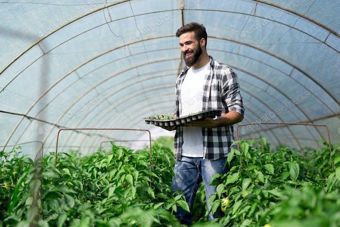Bauer, der junge Sämlinge in einem Gewächshaus pflanzt