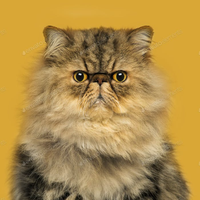 Front view of a grumpuy Persian cat sitting, looking at the camera, on a orange background