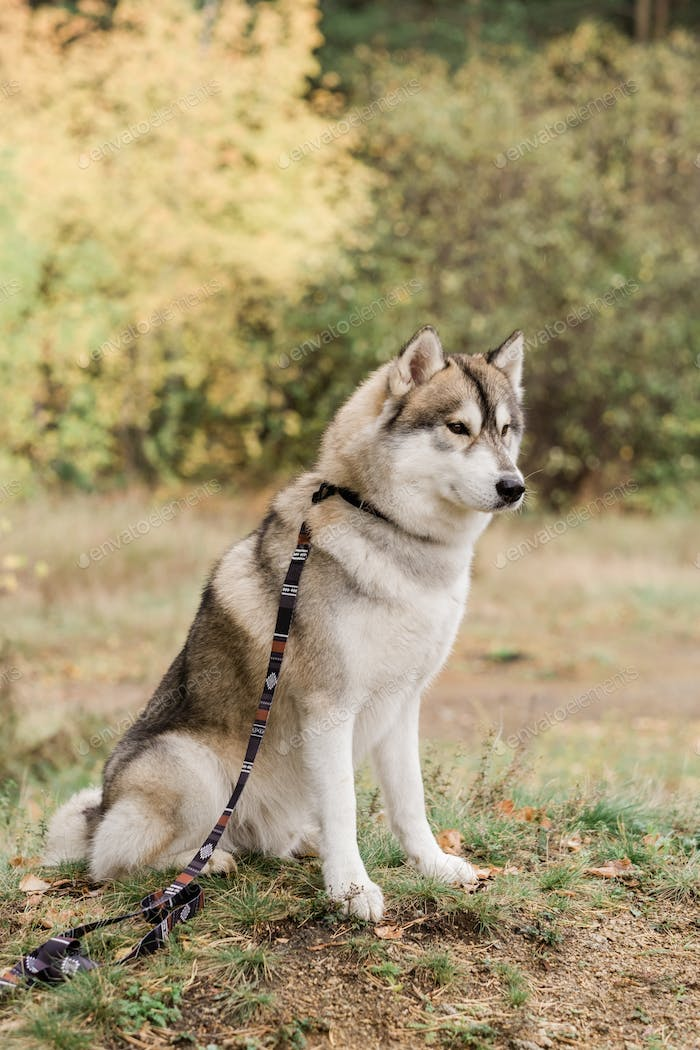 Cute purebred husky dog with handmade collar and leash sitting on forest path