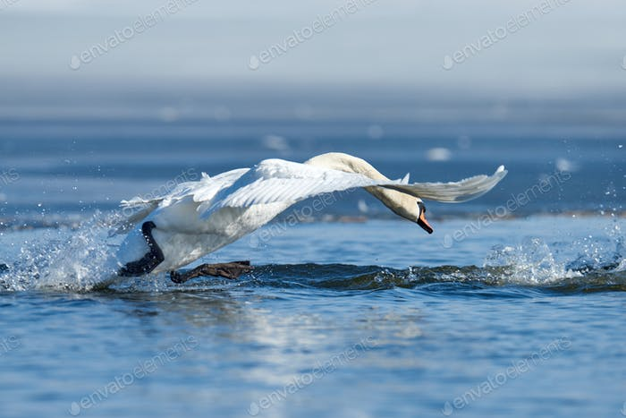 Swans taking flight on lake