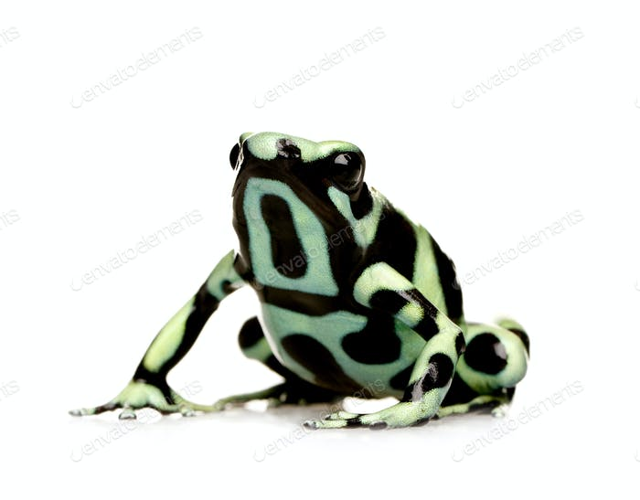 green and Black Poison Dart Frog - Dendrobates auratus