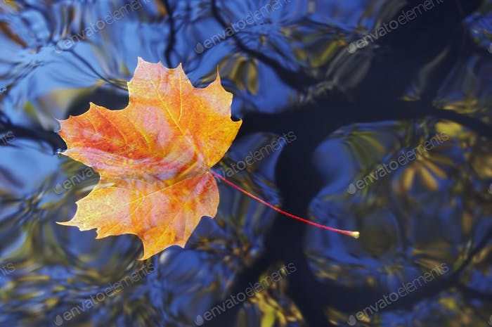 Autumn maple leaf floating on water