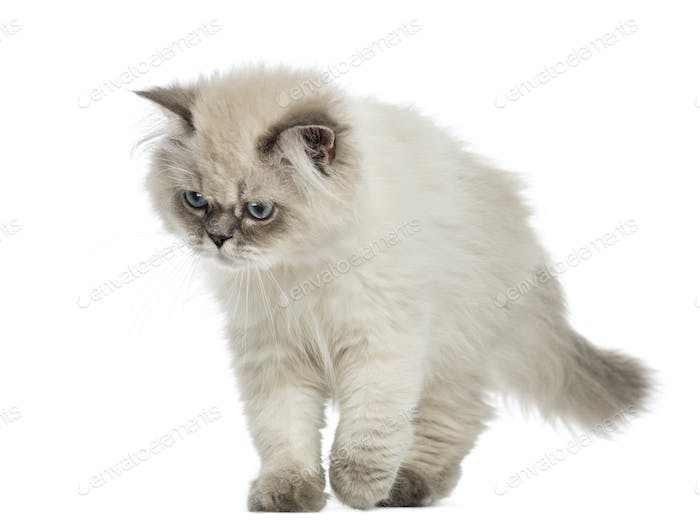 British Longhair kitten walking, looking down, 5 months old, isolated on white