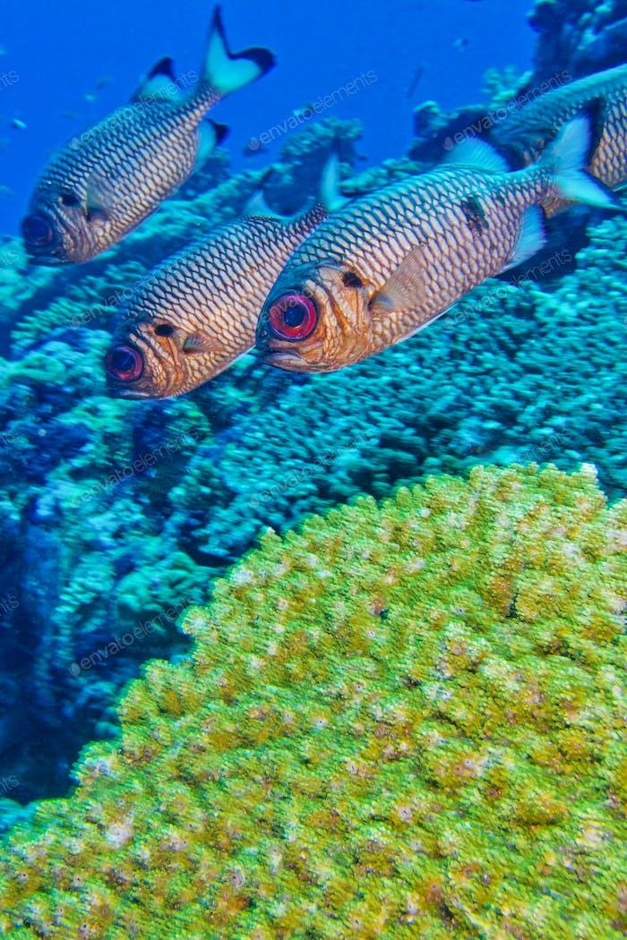 Bronze Soldatenfisch, Nord-Ari Atoll, Malediven