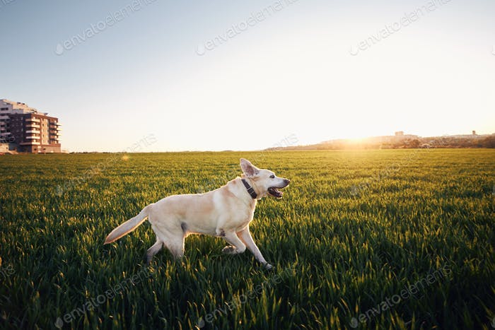 Dog on field at sunset