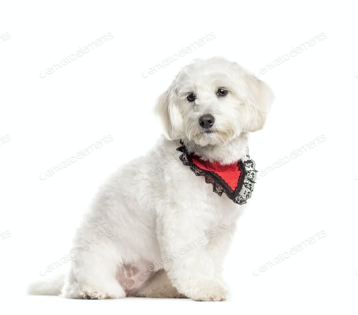 Sitting Coton de Tulear wearing a scarf, Dog, pet, studio photography, cut out