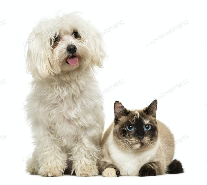 Maltese panting and Birman cat, isolated on white
