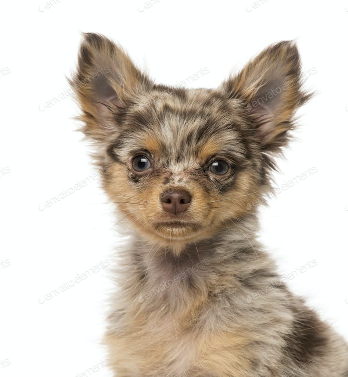 Close-up of a Chihuahua puppy (3 months old)