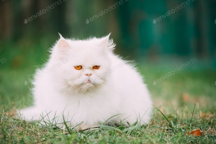 Cute Funny White Persian Cat Kitten With Yellow Eyes Resting In