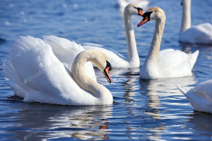 Beautiful swans (Cygnus olor) swim in blue water. Swans are refl