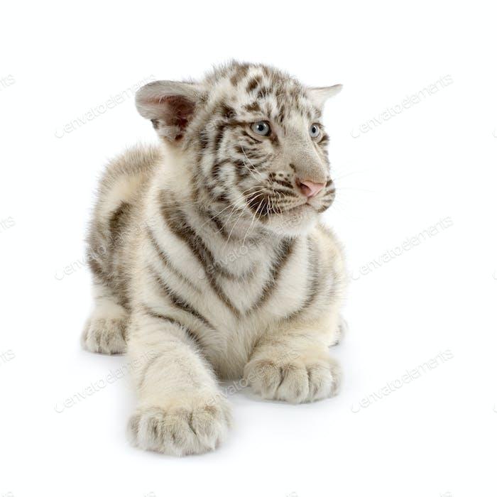 White Tiger cub (3 months)