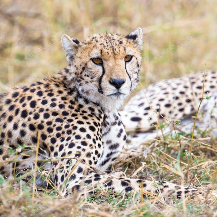 Cheetah rests at plains of Serengeti