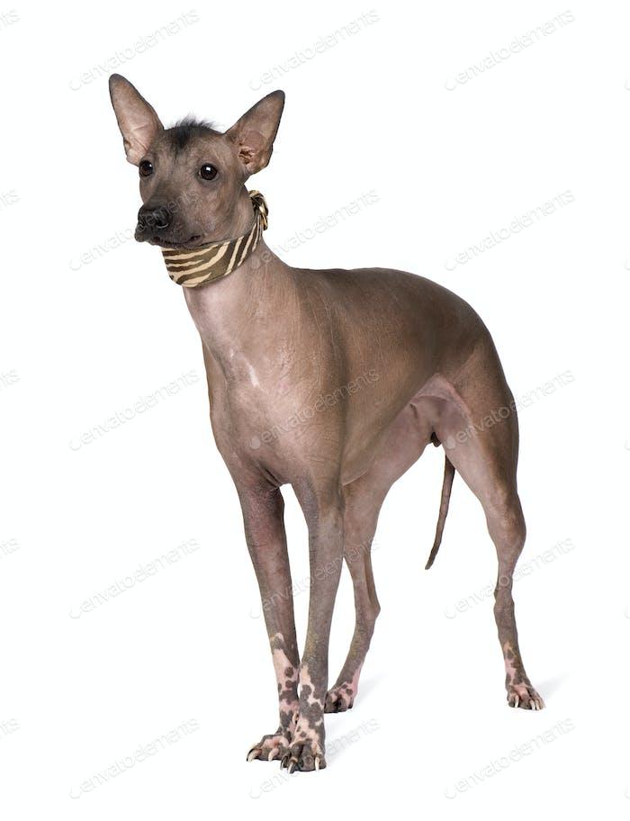 Peruanischer haarloser Hund (1 Jahre)