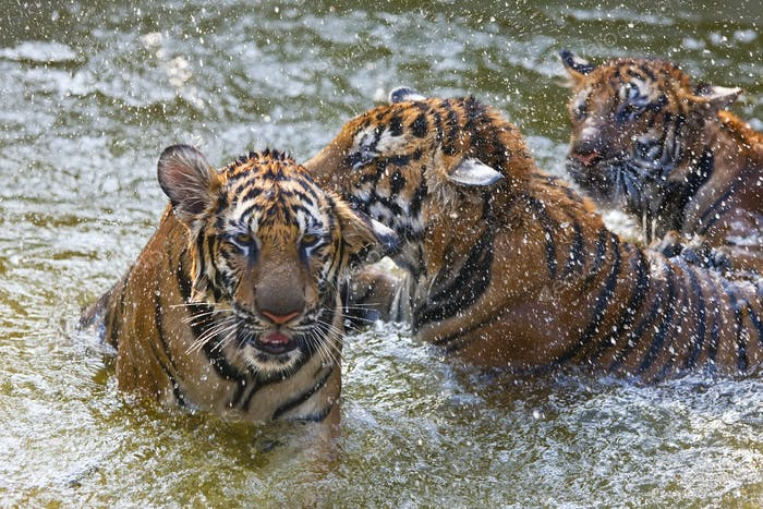 High angle close up of three tigers standing in a watering hole.
