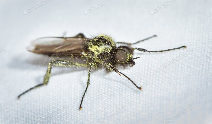 Fly Covered in Pollen