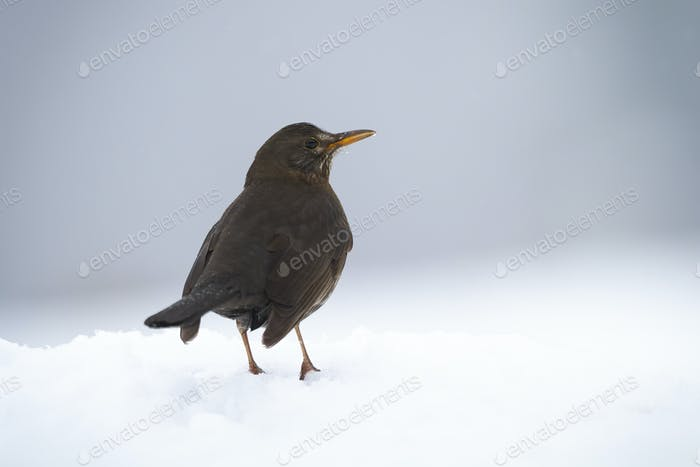 Common blackbird sitting on snow in winter from rear view