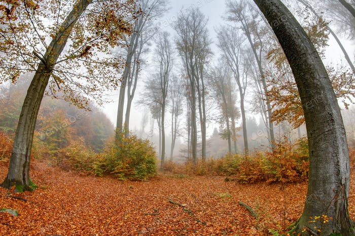 Misty haze in a beech forest in autumn