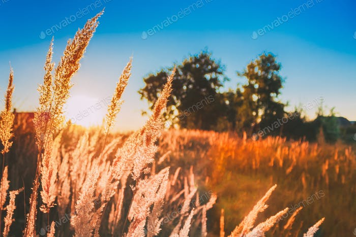 Dry Grass In Sunset Sunlight. Beautiful Plant On Sunrise Landsca