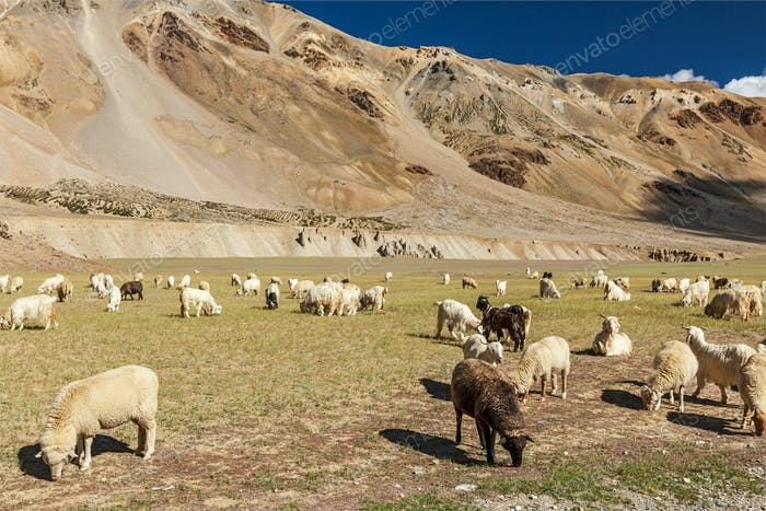 Herd of Pashmina sheep and goats in Himalayas. Himachal Pradesh