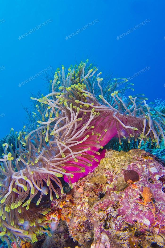 Seeanemone, Nord-Ari Atoll, Malediven