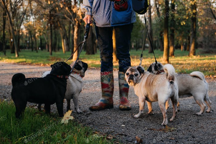 Dog walking. Professional dog walker walking dogs in autumn sunset park. Walking the pack array of