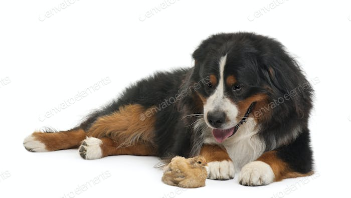 Bernese Mountain Dog, 3 years old, and chick lying in front of white background