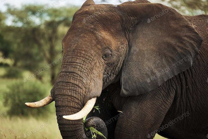 Close up of elephant in Africa