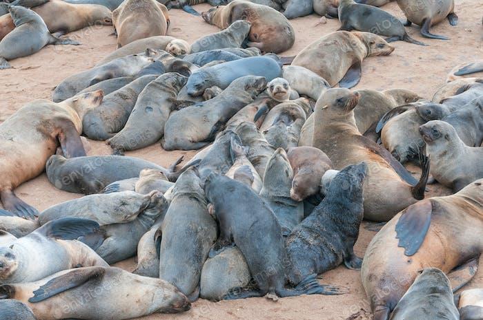 Creche of Cape Fur Seal pups at Cape Cross