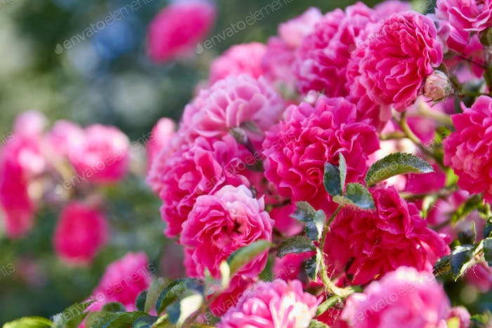 Close-up bouquet of blossoming pink damask roses in the garden.