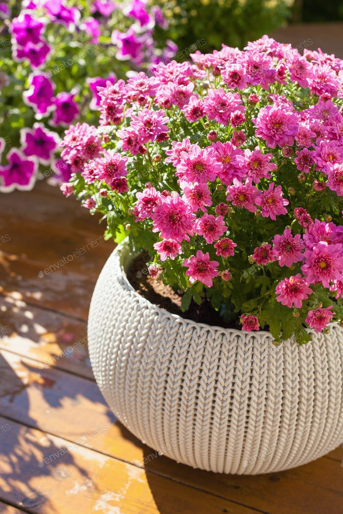beautiful summer flowers in flowerpots in garden. chrysanthemum,