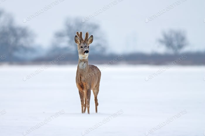 Roe deer buck in winter on snow from front view