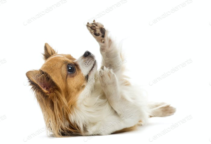 Chihuahua lying in front of a white background