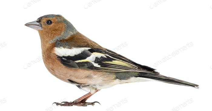 Common Chaffinch, isolated on white - Fringilla coelebs