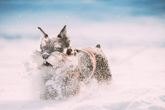 Funny Miniature Schnauzer Dog Or Zwergschnauzer In Outfit Playing Fast Running In Snow Snowdrift At