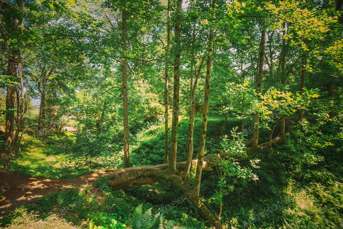 Batumi, Adjara, Georgien. Gefallene Tulpenbaum Im Botanischen Garten An Sonnigen Sommertag. Frühlingswald