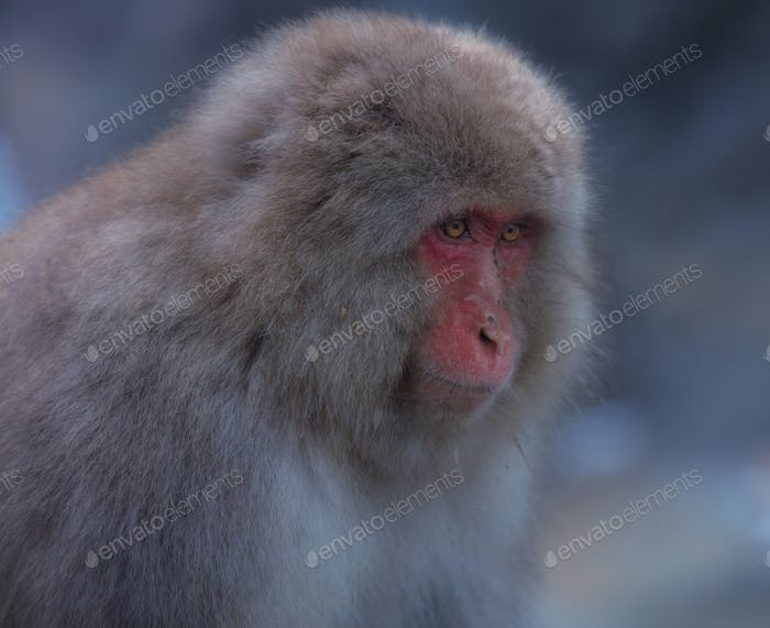 Snow Monkey of Nagano