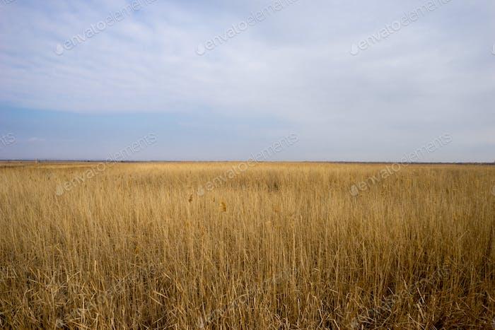 Campo de trigo silvestre dorado con Fondo cielo azul