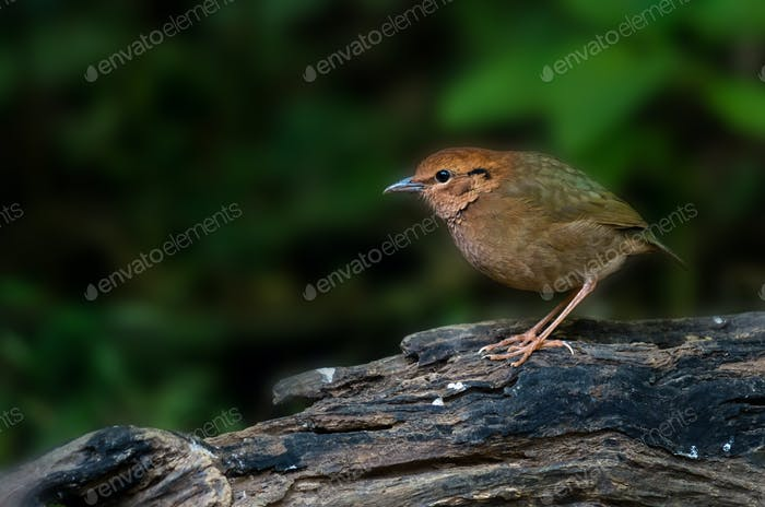 Rostig naped Pitta auf dem Holz im tiefen Wald, schwaches Licht