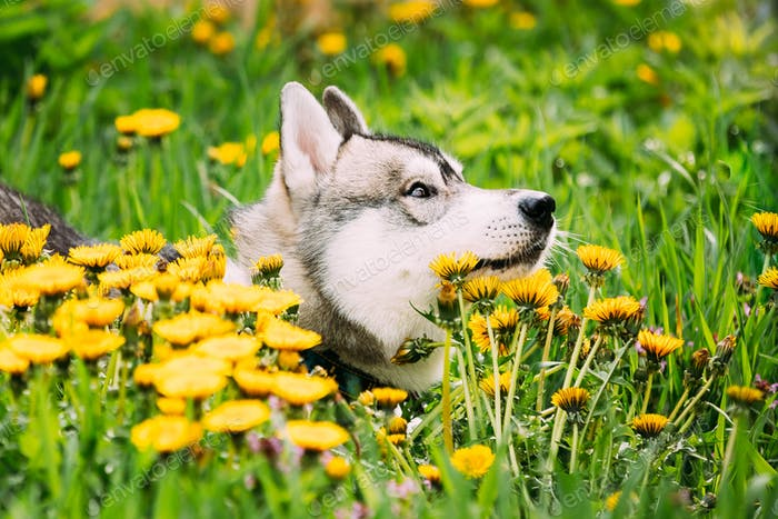 Funny Young Happy Husky Puppy Eskimo Dog Sitting In Grass And Da