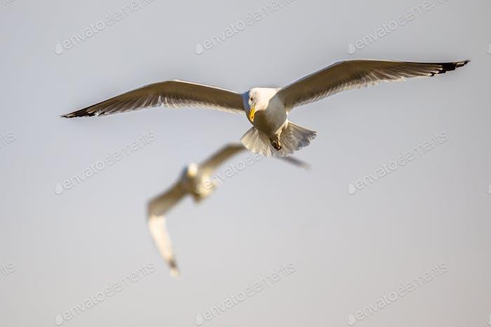 Two Yellow-legged gulls flying