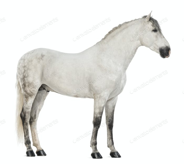 Side view of a Male Andalusian, 7 years old, also known as the Pure Spanish Horse